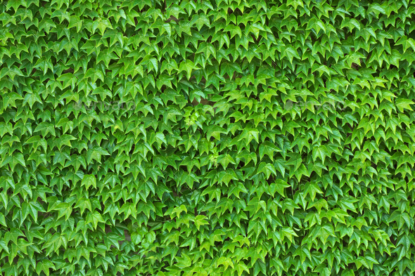 Green Ivy Wall Background and Texture Stock Photo by vk_studio