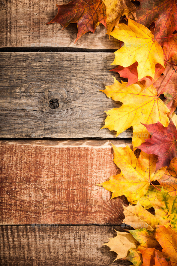 Fall Leaves Wallpaper Powerpoint Background Autumn Background With Maple Leaves Stock Photo By Ff