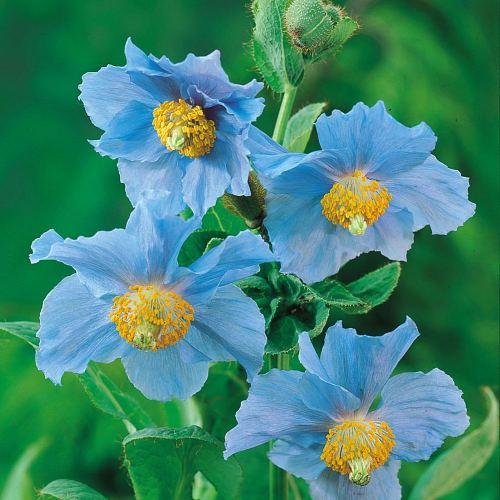 Medium Crop Of Himalayan Blue Poppy