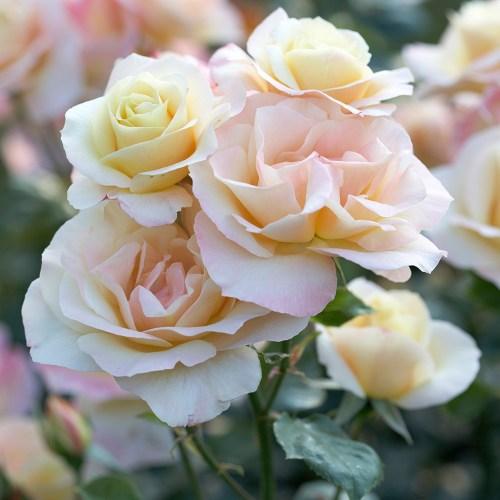 Medium Of Queen Elizabeth Rose