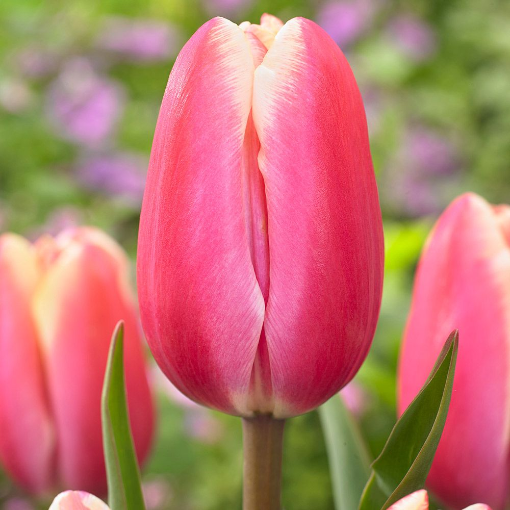 Buy Tulip Jumbo Beauty J Parker Dutch Bulbs