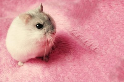 Cute Baby Pig Wallpaper Animals Hamster Pink Rosa Tiere Image 362401 On