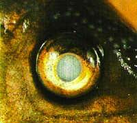In a fish only, quarantine or Mini Reef aquarium: Freshwater Maracyn
