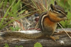 Chipmunk Eating Dinner