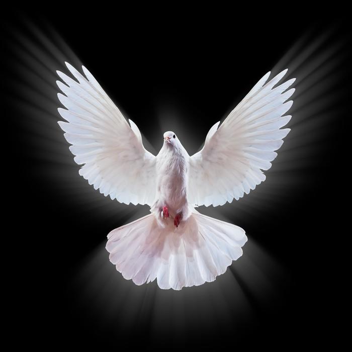 Hd Pigeon Wallpaper Fotomural Una Paloma Blanca Vuelo Libre Aislada En Un