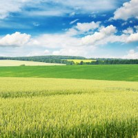 Wheat field and blue sky Wall Mural  Pixers  We live to ...