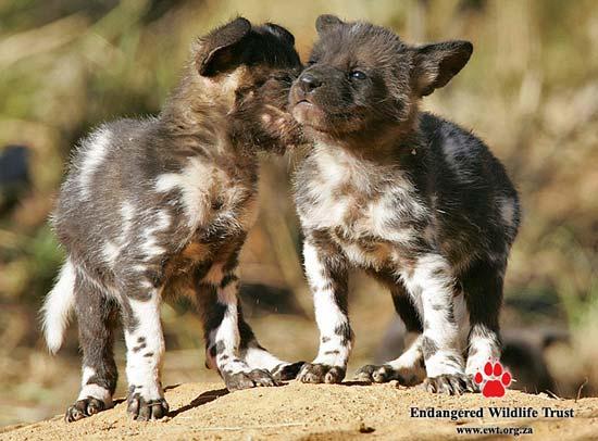 Cute Cubs Wallpaper Endangered Wildlife Trust South Africa African Wild Dog