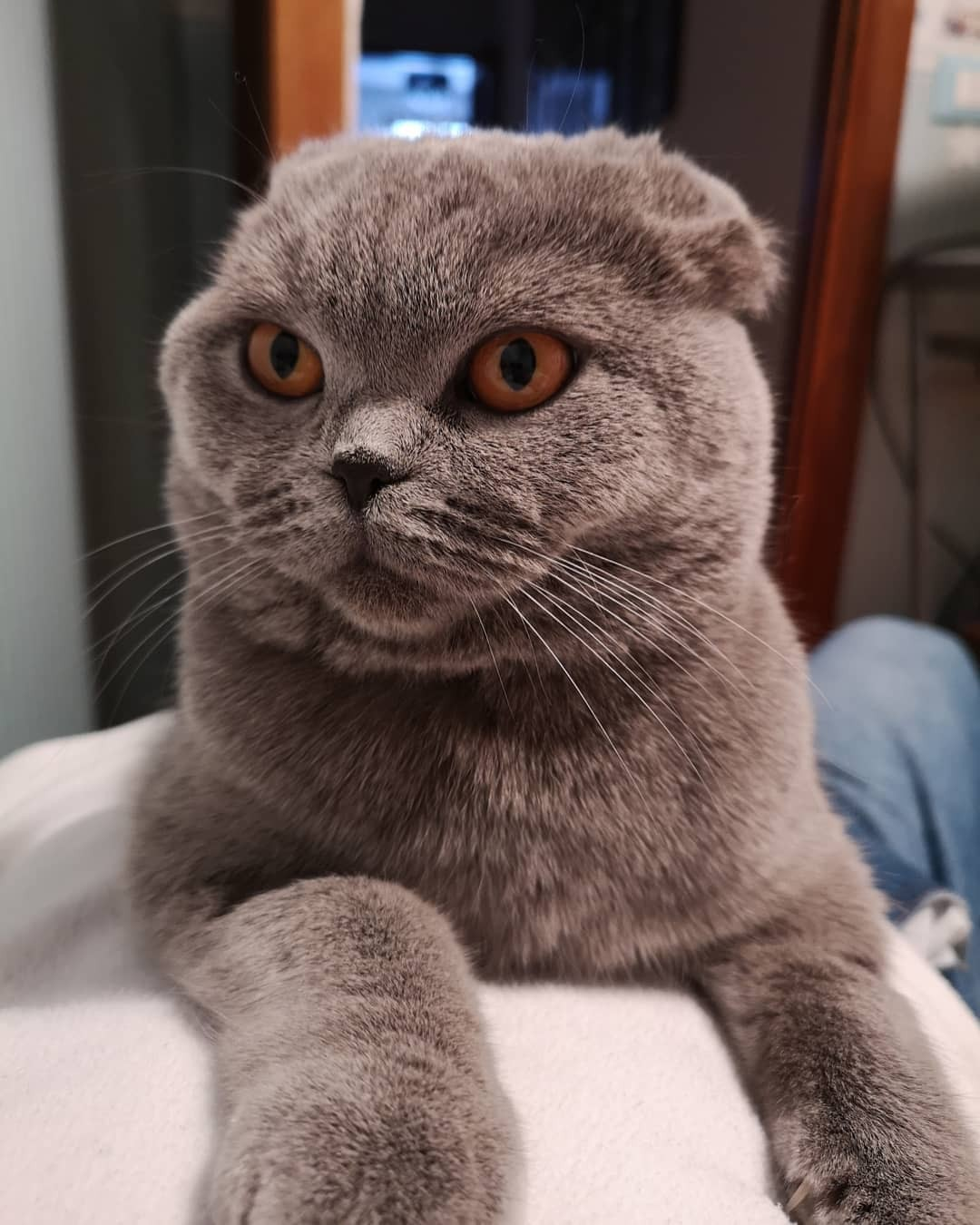Chartreux Chaton 40 Chat British Chartreux