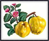 Fruit Print,fruit Painting, Botanical Art Print , Apple ...