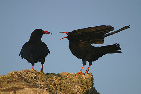 """A """"chatter"""" of choughs"""
