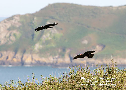 Choughs over the Jersey coast