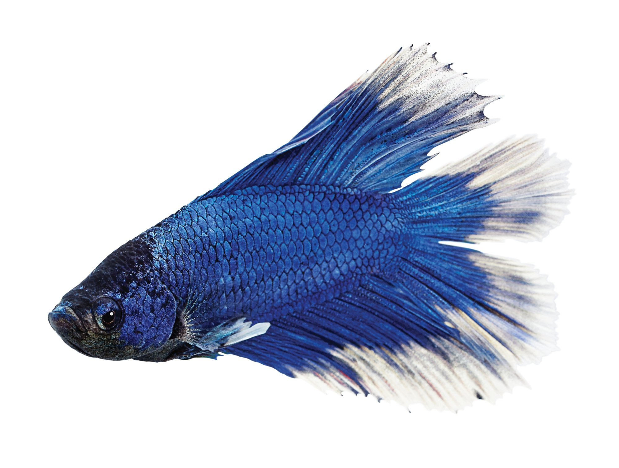 Iphone X Off White Wallpaper Male Doubletail Betta Petco