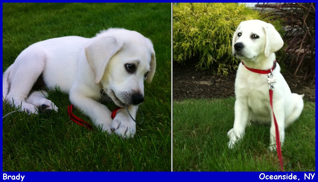 Yellow Lab Dogs For Sale Labs Pups Labs To Love English Labradors Breeder Yellow Labs Black