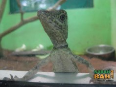 Like a bartender waiting for a drinks order, this friendly little lizard is now serving at Lok Kawi zoo