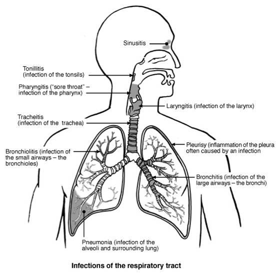 throat voice box diagram