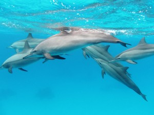 A pod of spinner dolphins in the Red Sea
