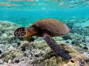 Green turtle swimming over coral reefs in Kona
