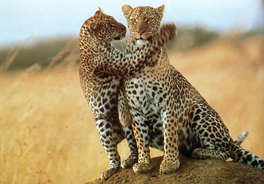 Jungle Wallpaper With Animals Kenya Safari A Guide To Going On Safari In Kenya