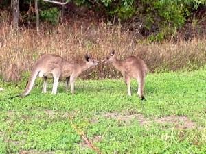 Kangaroos wild on Brampton Island