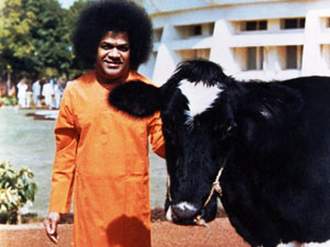 Photo of Sathya Sai Baba with a cow