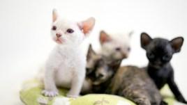 デボンレックスKIKIの仔猫 リンクスポイントメス Devon Rex Kittens KIKI lynx point female