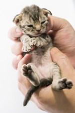 デボンレックスCATERINAの仔猫 ブラウンマッカレルタビー ♂ Devon Rex Kitten Brown Mackrel Tabby male