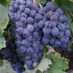 Sangiovese Harvest Saturday