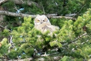 A Baby Owl we can watch from our yard.