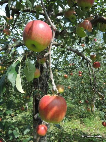 仁木町りんご狩り