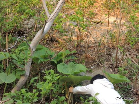 オタモイの赤土の岩場の蕗