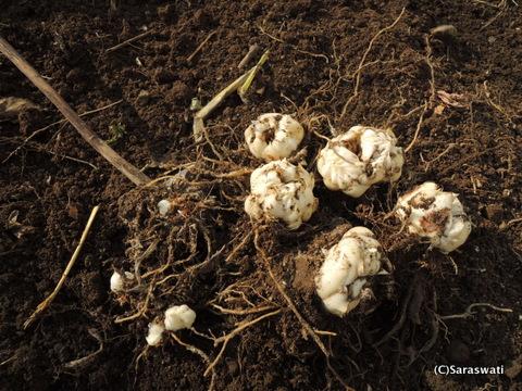 ゆり根の収穫