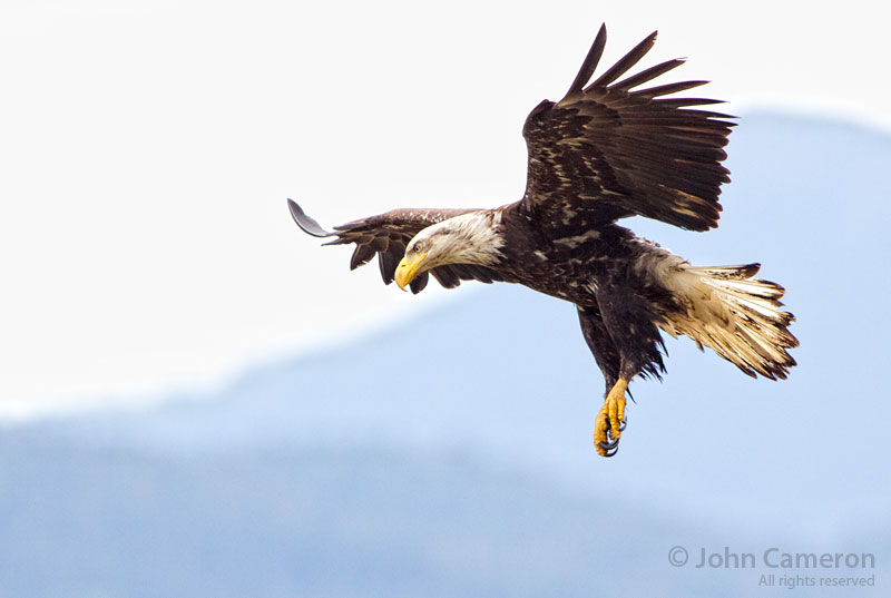 Saltspring eagle by John Cameron