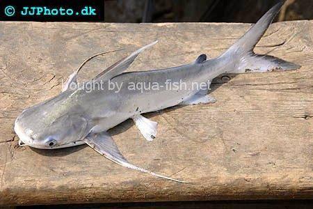 Gafftopsail Sea Catfish, picture no. 3