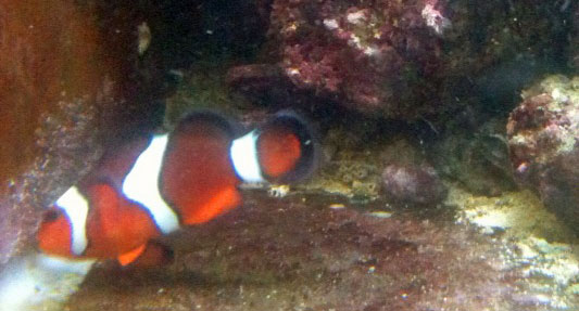 breeding saltwater clownfish