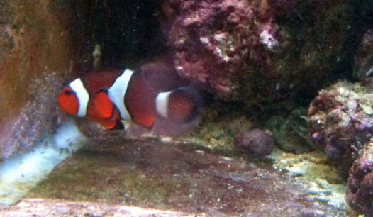 Clownfish breeding journal