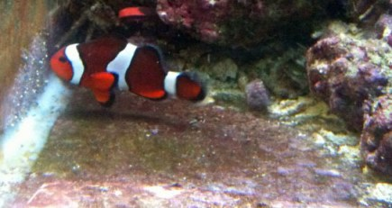 breeding the common clownfish