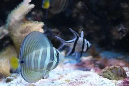 Saltwater fish-SaltwaterAquariumBlog