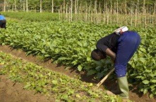L'agriculture africaine n'a pas encore fait sa révolution… L'union fait la force des coopératives
