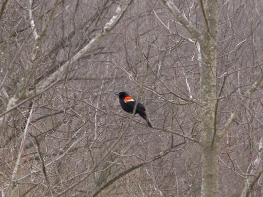Blackbird at Mystery Point