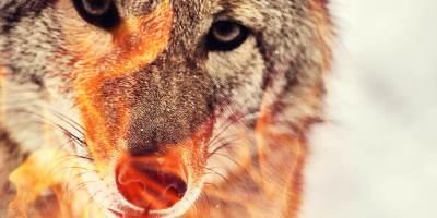 Corona Coyote (Starchild)