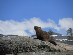 Wildlife Spotting in Yellowstone National Park