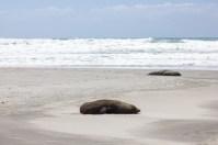Ocean Beach Seals