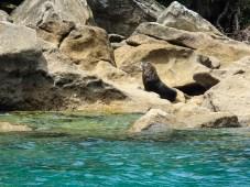 Tonga Island Sunbathing Seal