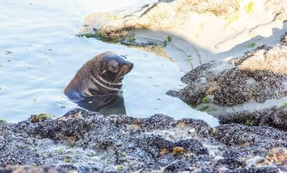 Wharariki Beach Seal