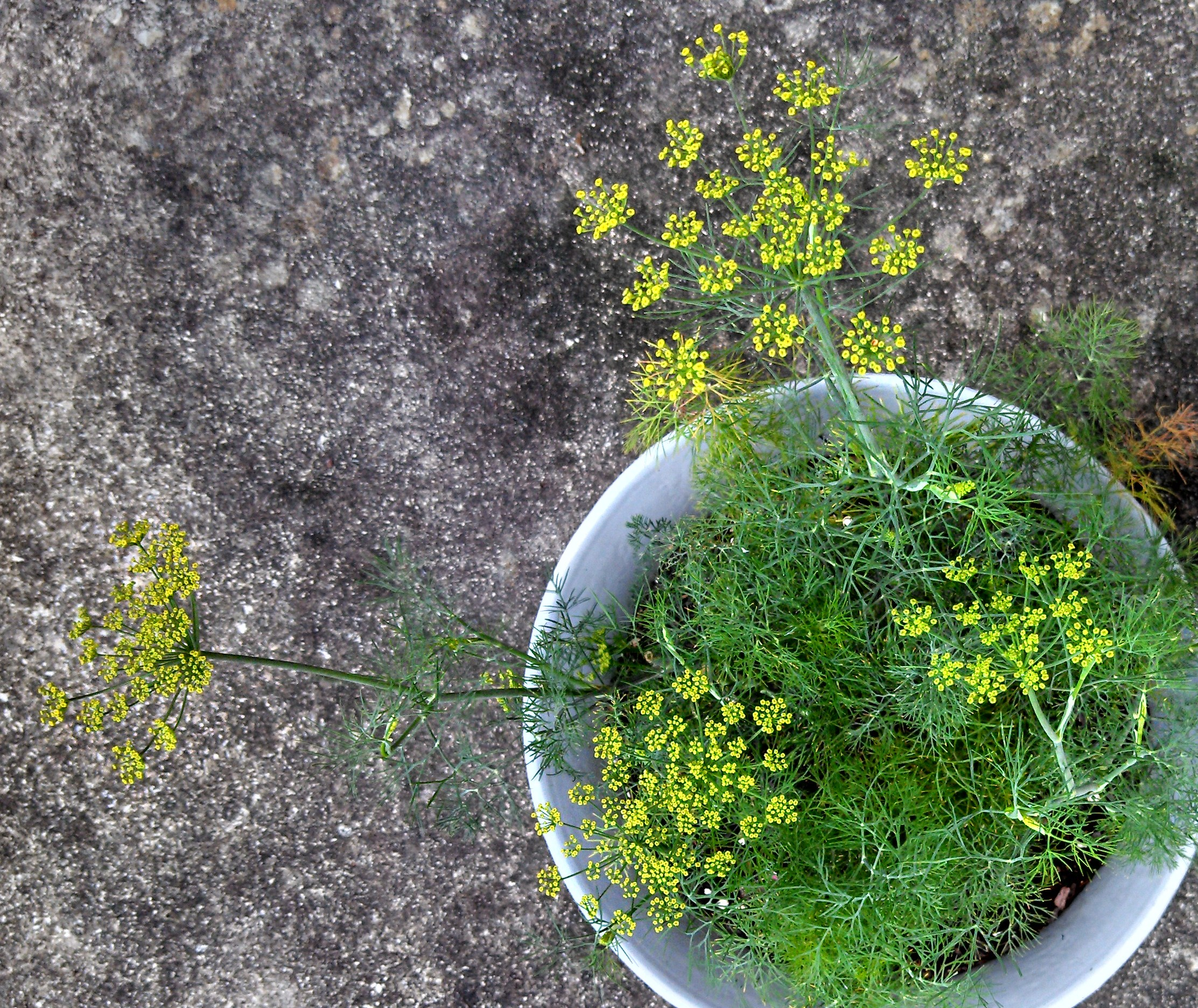 Head Of Dill Sanctuary Gardener Update ~ 6/24/13 | Sanctuary Gardener