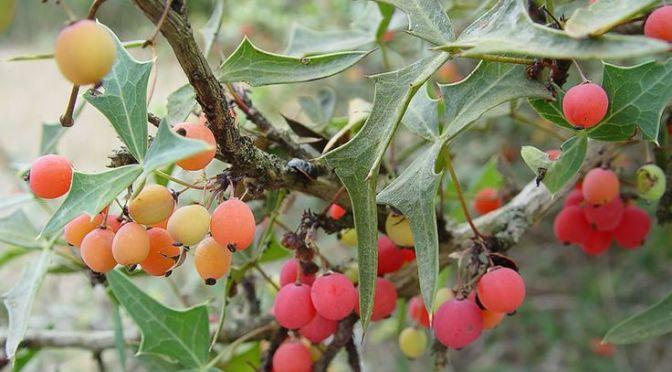 Agarita (Berberis Trifoliolata)