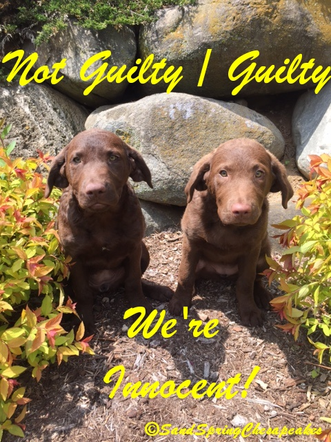 Will Jacky pick Not Guilty or Guilty?