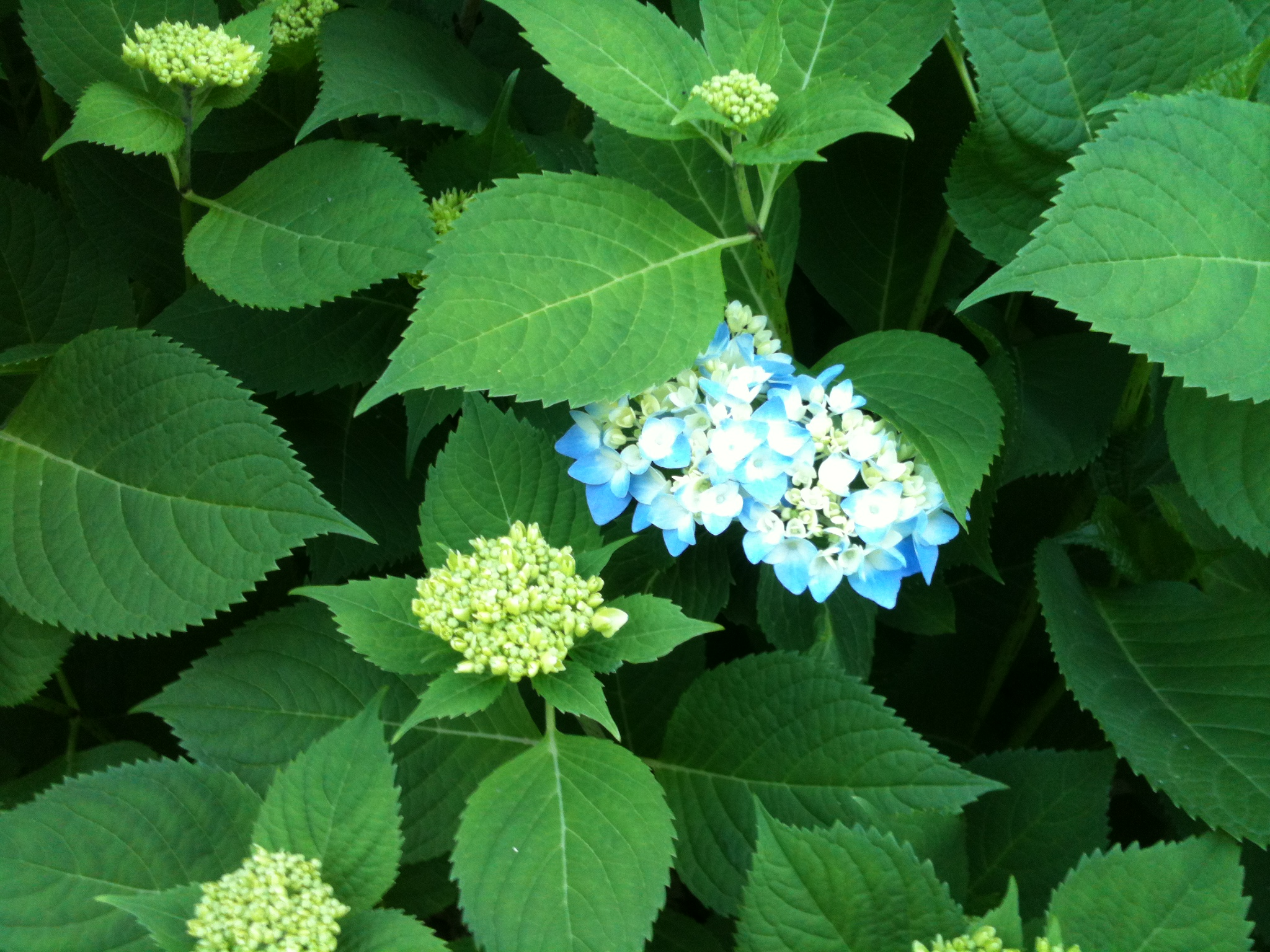 Hydrangea Didn't Flower This Year The Value Of Pruning - Sarah Geringer