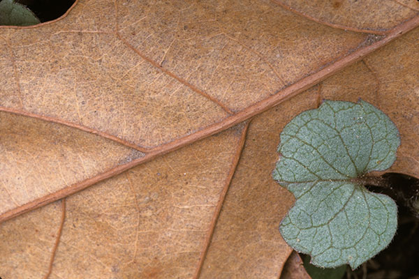 two_leaves1