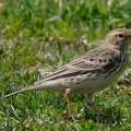 礼文島の鳥たち